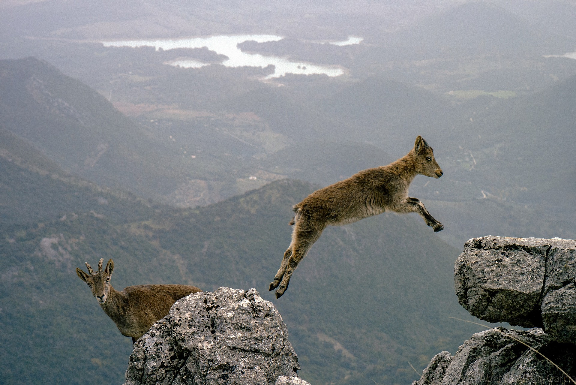 Two mountain goats. One is taking the leap. The other is thinking about it first!